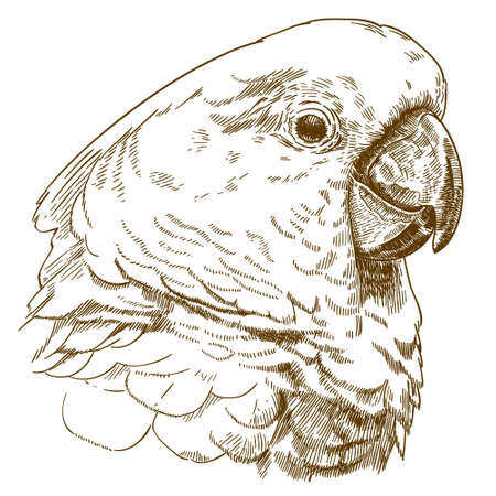 Antique engraving drawing vector illustration of white cockatoo head isolated on white background.
