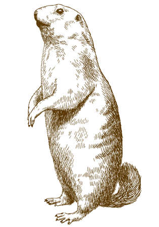 A Vector antique engraving drawing illustration of marmot isolated on white background