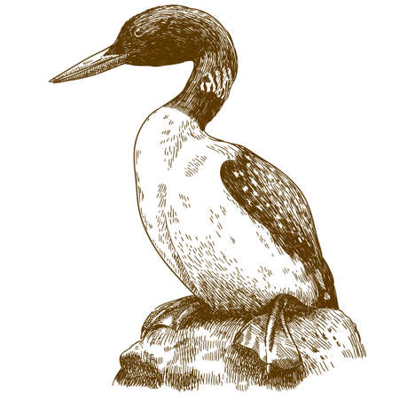 Vector antique engraving drawing illustration of great northern loon isolated on white background Ilustração