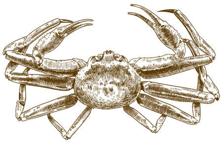 A Vector antique engraving drawing illustration of chionoecetes opilio crab isolated on white background