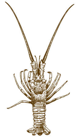A Vector antique engraving drawing illustration of spiny lobster isolated on white background