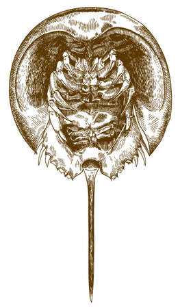 A Vector antique engraving drawing illustration of horseshoe crab bottom view isolated on white background 일러스트