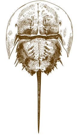 A Vector antique engraving drawing illustration of horseshoe crab top view isolated on white background
