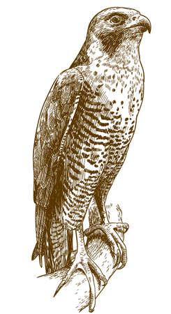 Antique illustration of hawk isolated on white background Illustration