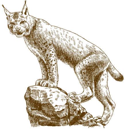Antique illustration of lynx isolated on white background