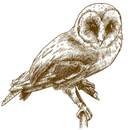 Antique illustration of barn owl isolated on white background Çizim