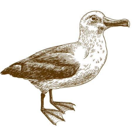 Antique illustration of black browed albatross isolated on white background Ilustração