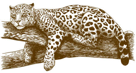Vector antique engraving drawing illustration of leopard Ilustração