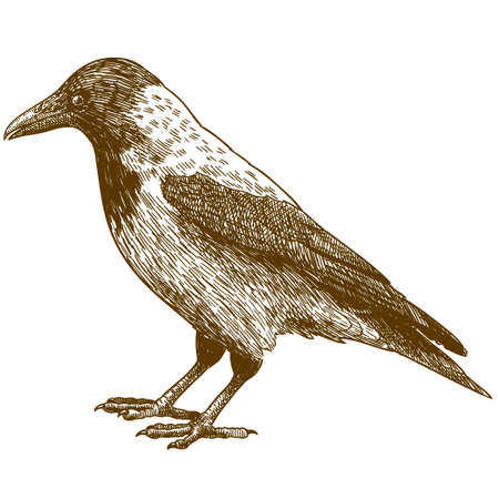 Vector antique engraving drawing illustration of crow isolated on white background Иллюстрация