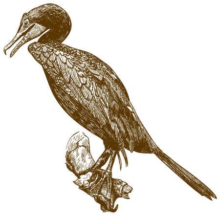 Cormorant bird outline image illustration Illustration