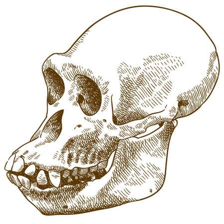 Vector antique engraving drawing illustration of anthropoid ape skull Illustration