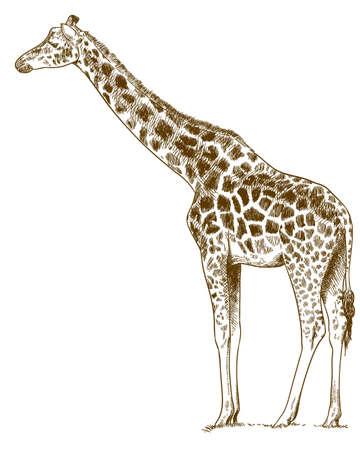 Giraffe outline image illustration