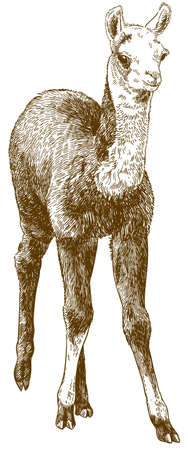 Llama cub or alpaca outline image illustration