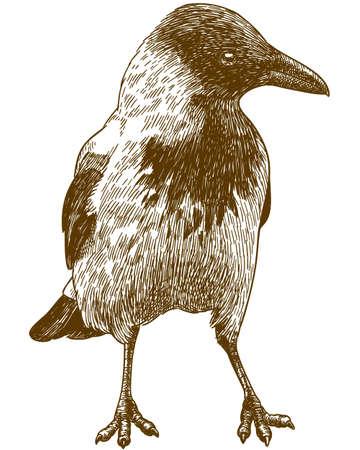 Crow outline image illustration Ilustração