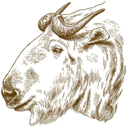 Big golden takin head image illustration
