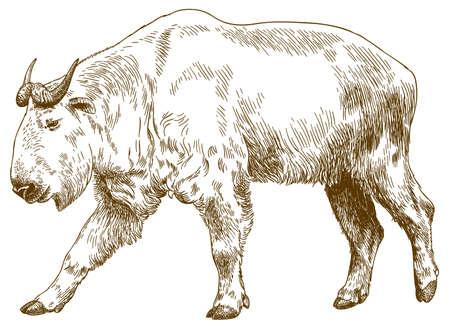 Vector antique engraving drawing illustration of big golden takin