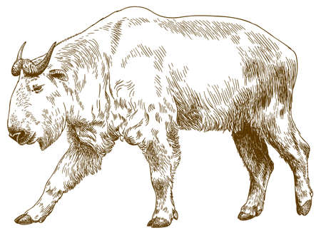 Vector antique engraving drawing illustration of big golden takin