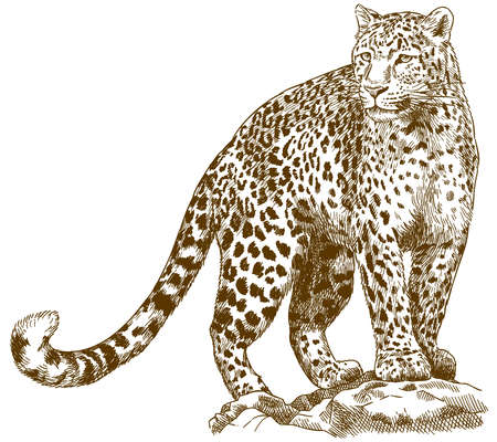 Vector antique engraving drawing illustration of leopard isolated on white background Vettoriali