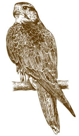 Vector antieke gravure tekening illustratie van valk geïsoleerd op een witte achtergrond