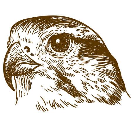 Vector antieke gravure tekening illustratie van valk hoofd geïsoleerd op een witte achtergrond Stock Illustratie