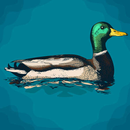 Vector antique engraving illustration of mullard duck in retro style