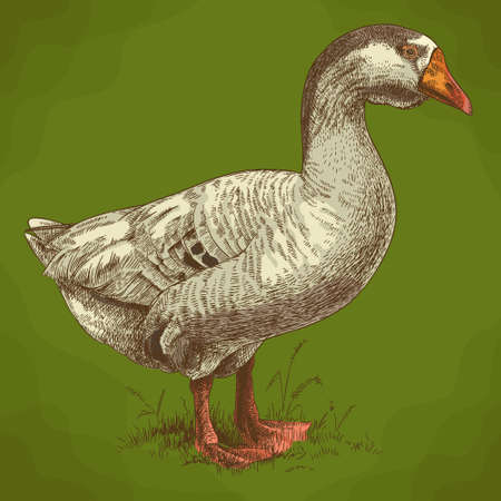 Vector antique engraving illustration of big goose in retro style 일러스트