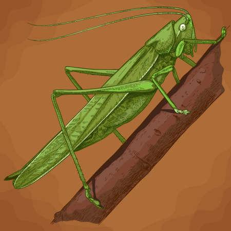 Vector antique engraving illustration of grasshopper in retro style 向量圖像
