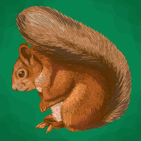 Vector antique engraving illustration of squirrel in retro style Illustration