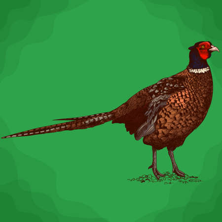 Vector antique engraving illustration of pheasant in retro style Illustration