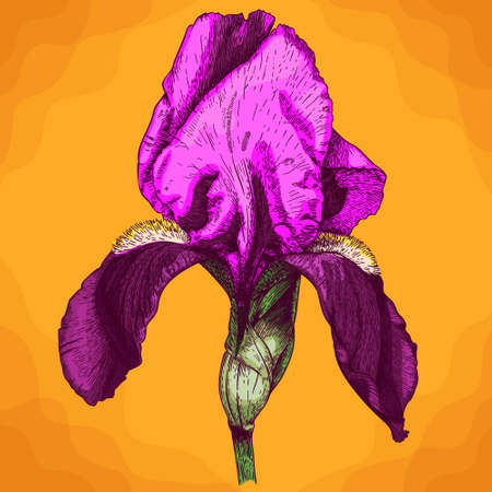 Vector antique engraving illustration of iris flower in retro style