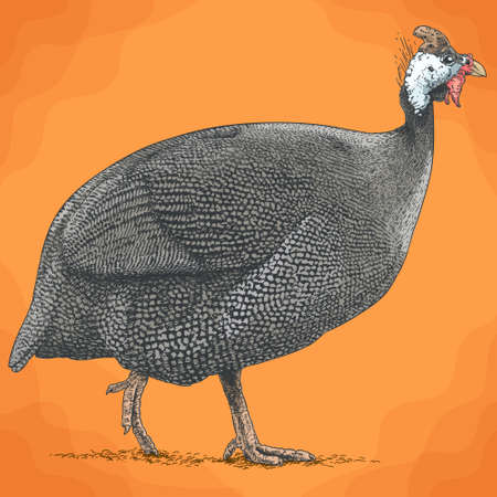 Vector antique engraving illustration of guineafowl in retro style 矢量图像