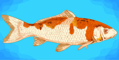 Vector antique engraving illustration of koi fish in retro style Illustration