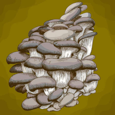 Vector antique engraving illustration of oyster mushroom in retro style