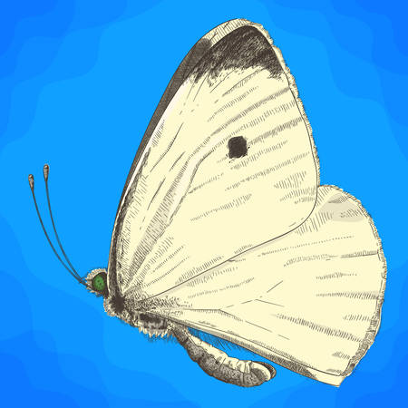 Vector antique engraving illustration of small cabbage white butterfly in retro style