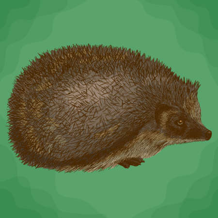 Vector antique engraving illustration of hedgehog in retro style