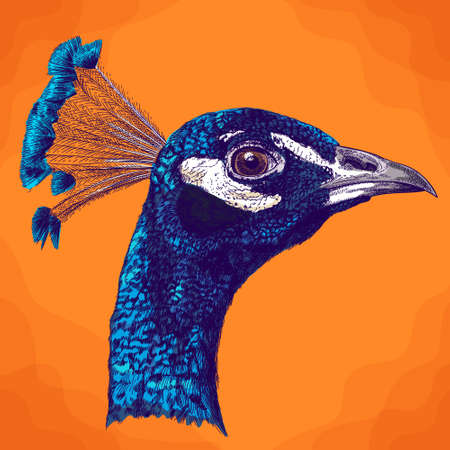 Vector antique engraving illustration of peacock head in retro style