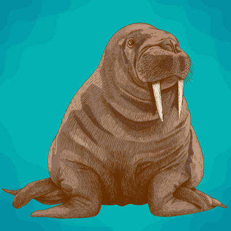 Vector antique engraving illustration of big walrus in retro style Illustration