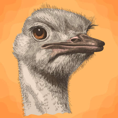 Vector antique engraving illustration of ostrich head in retro slyle Ilustração