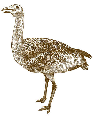 Vector antique engraving drawing illustration of great bustard (Otis tarda) isolated on white background Ilustração