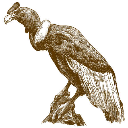 Vector antique engraving drawing illustration of big andean condor isolated on white background