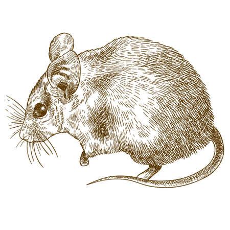 Vector antiguo grabado dibujo ilustración de ratón espinoso (Acomys cahirinus) aislado sobre fondo blanco.