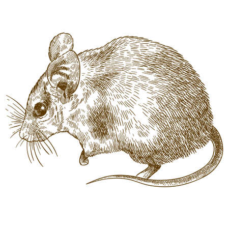 Vector antique engraving drawing illustration of spiny mouse (Acomys cahirinus) isolated on white background