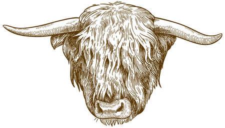 Antica incisione di vettore disegno illustrazione della testa di bovini delle Highlands isolati su sfondo bianco