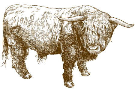 Vector antique engraving illustration of highland cattle isolated on white background