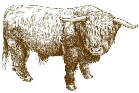 Vektor antike Gravurillustration von Hochlandrindern lokalisiert auf weißem Hintergrund