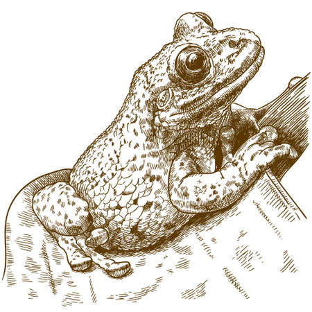 Vector antique engraving drawing illustration of black-spotted casque-headed tree frog isolated on white background