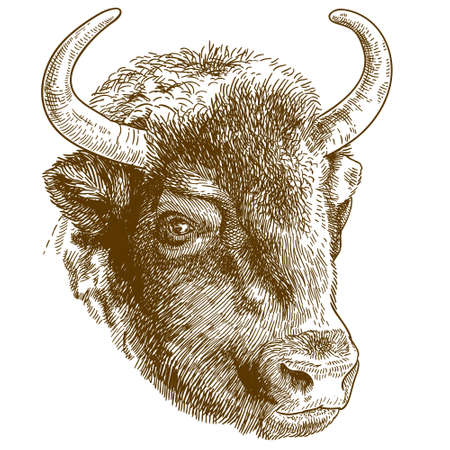 Vector antique engraving drawing illustration of bison head isolated on white background Vectores