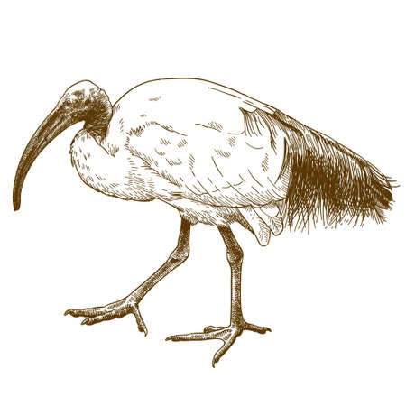 Vector antique engraving drawing illustration of African sacred ibis isolated on white background Ilustração