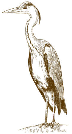 Vector antique engraving drawing illustration of great blue heron (ardea herodias) isolated on white background