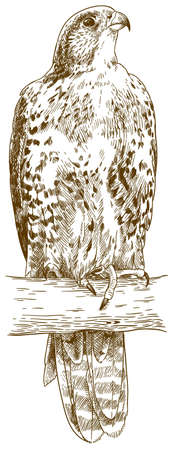 Vector antique engraving drawing illustration of saker falcon (falco cherrug) isolated on white background 向量圖像